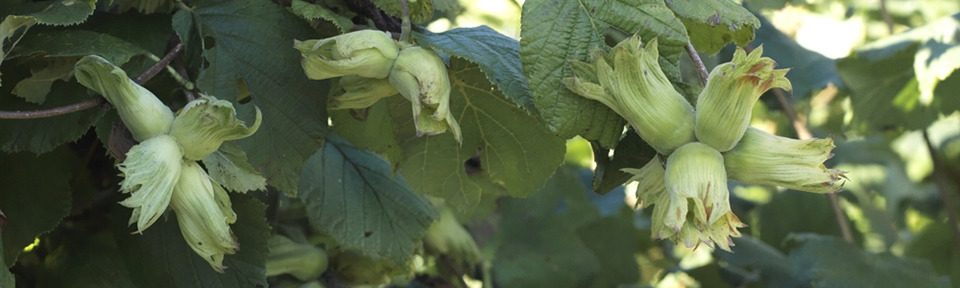 Potash Farm - Green/Golden Kentish Cobnuts