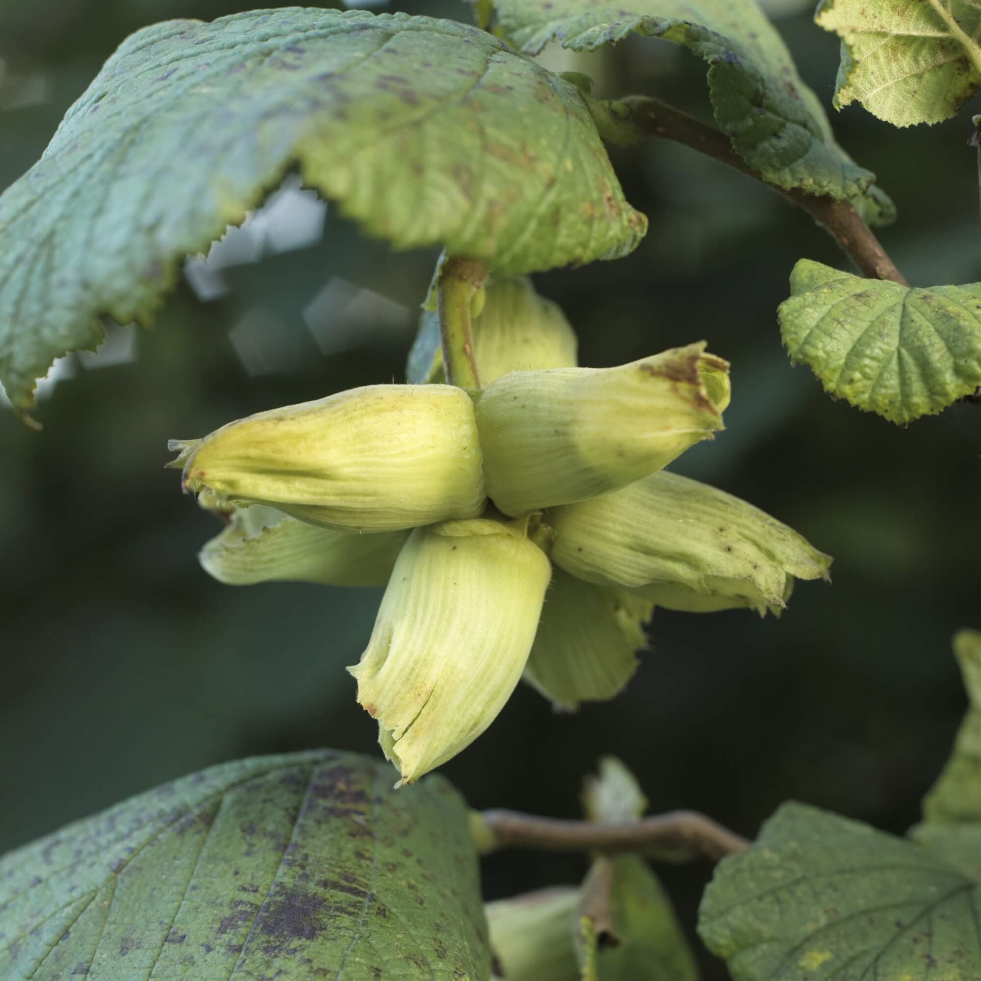 - Green/Golden Kentish Cobnuts