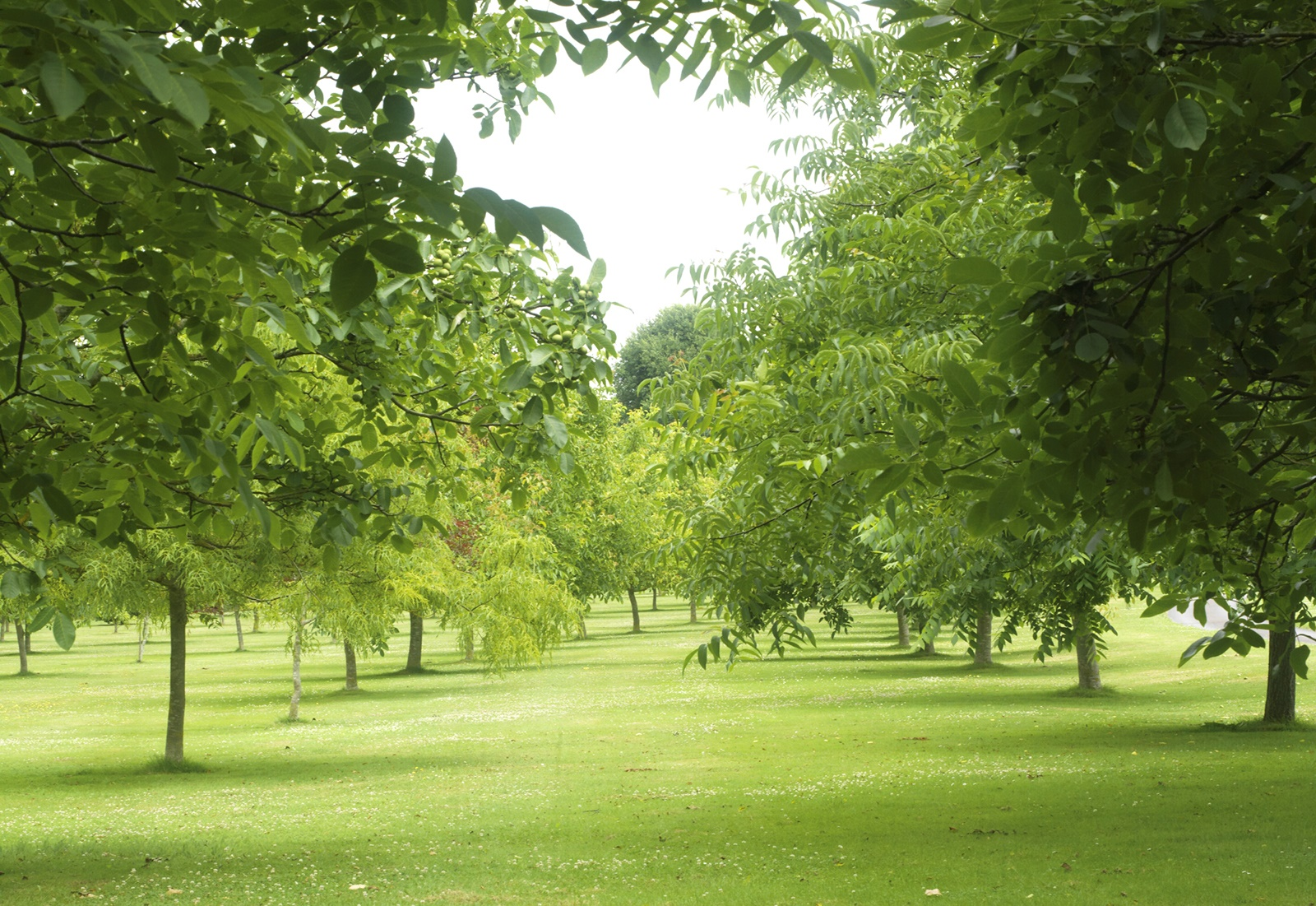 The Walnut Tree Co. - Provided as bare rooted, one-year-old hybrids or two-year old pure species plants.