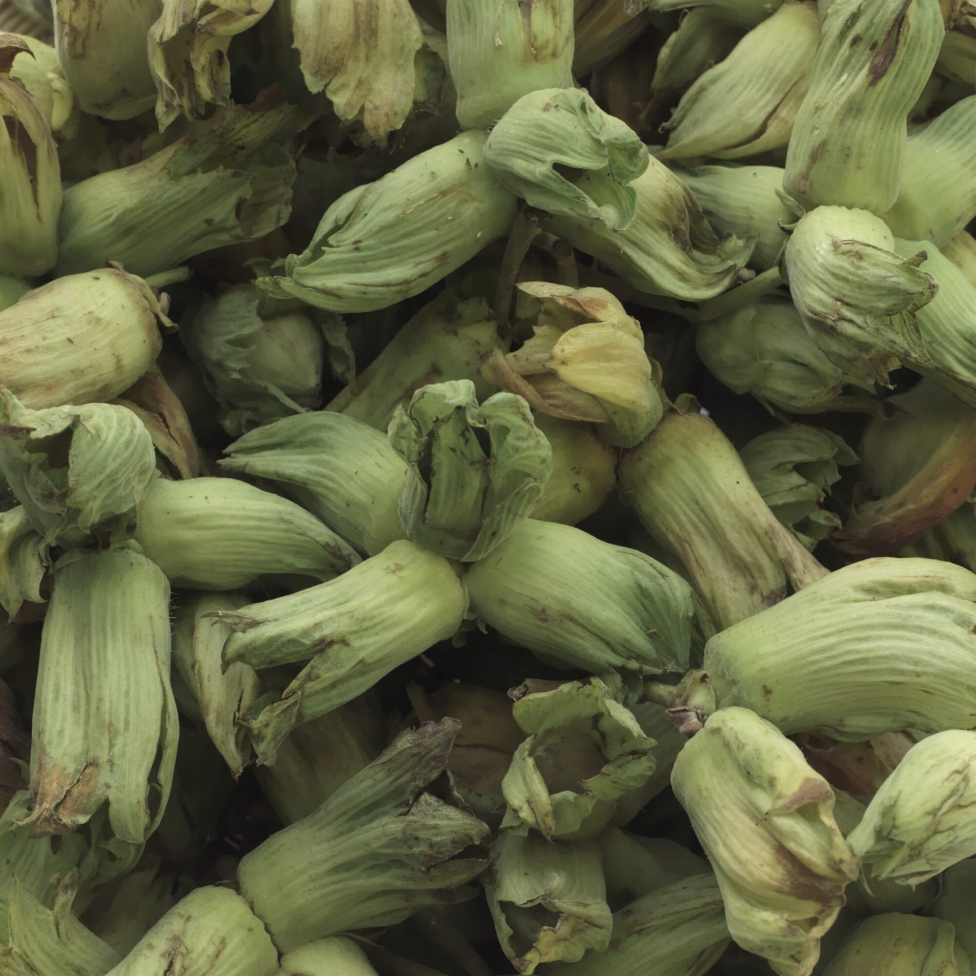 Green Kentish Cobnuts - A Cobnut is a type of hazelnut traditionally grown in Kent. They are harvested in their green state form mid August and with brown shells and husks by mid October.
