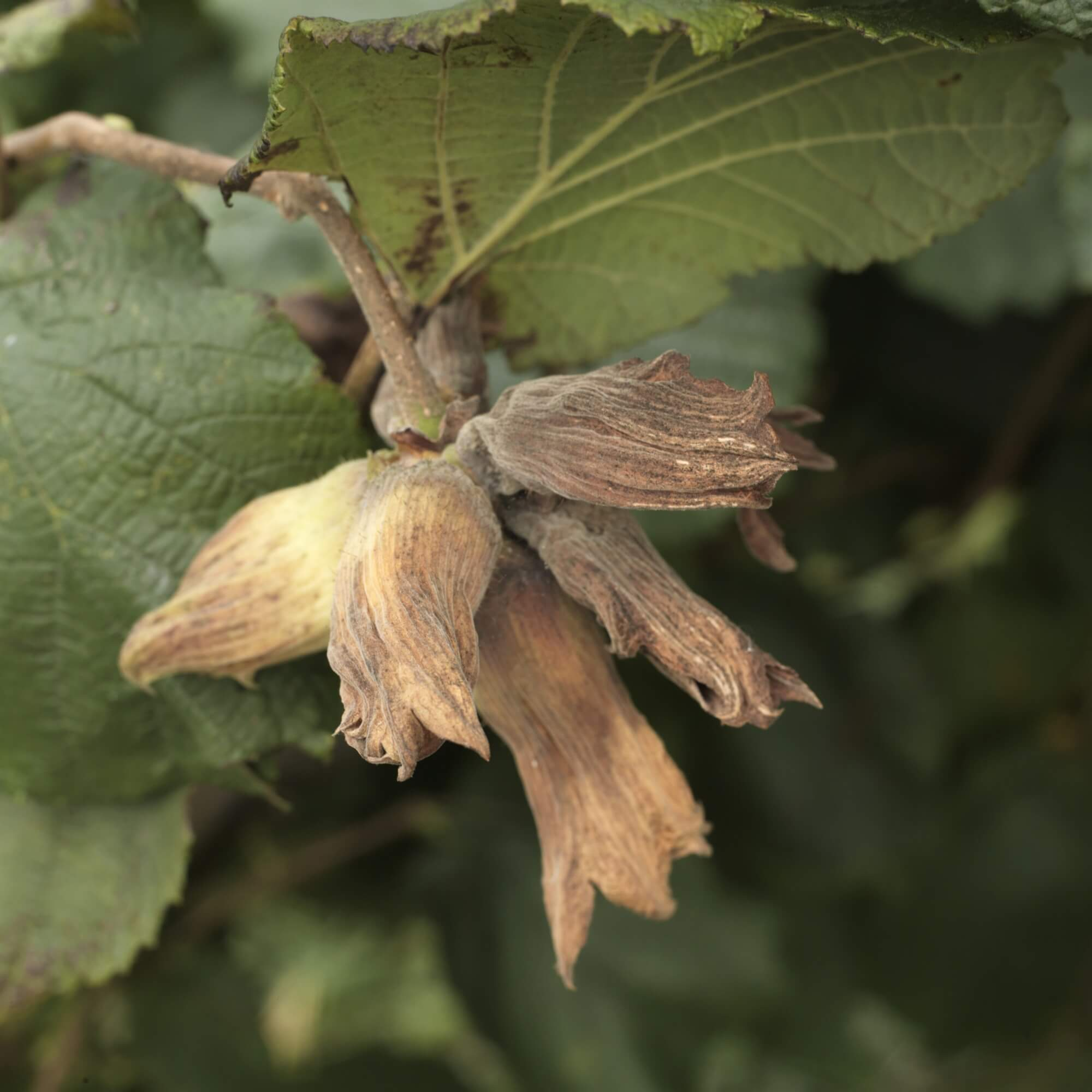 Golden Kentish Cobnuts - A Cobnut is a type of hazelnut traditionally grown in Kent. These are continually sold throughout their short season as green and golden on the husks, golden brown on the husks, and brown on the husk.