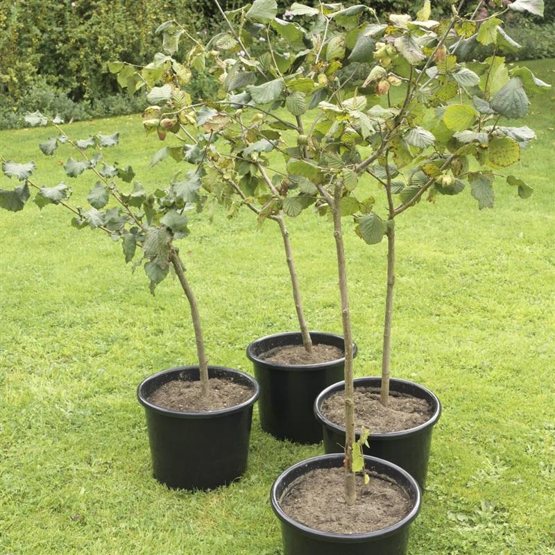 Pot Grown Kentish Cobnut Trees
